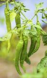Πιπέρια τσίλι, καυτό τσίλι, Χιλή Στοκ Φωτογραφία