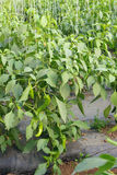 Πιπέρι του Cayenne στοκ φωτογραφία με δικαίωμα ελεύθερης χρήσης