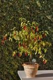 Πιπέρι τσίλι στον κήπο αναπτύσσοντας λαχανικά Καυτά καρυκεύματα στα τρόφιμα Στοκ Εικόνες
