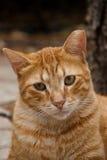 πιπερόριζα γατών Στοκ Εικόνα