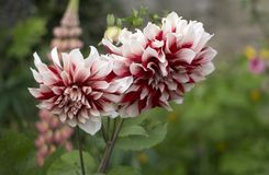 Πιπερόριζα φανών, κόκκινο υπόβαθρο λουλουδιών Στοκ Εικόνες