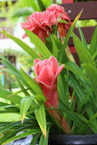 Πιπερόριζα φανών, οικογένεια λουλουδιών elatior etlingera Στοκ φωτογραφίες με δικαίωμα ελεύθερης χρήσης