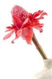 Πιπερόριζα φανών., οικογενειακά zingiberaceae λουλουδιών elatior Etlingera Στοκ φωτογραφία με δικαίωμα ελεύθερης χρήσης