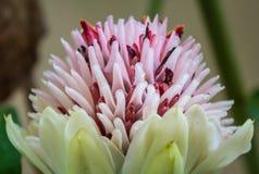 Πιπερόριζα φανών, οικογενειακά zingiberaceae λουλουδιών elatior Etlingera (et Στοκ εικόνα με δικαίωμα ελεύθερης χρήσης