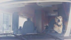 Πιστή συνεδρίαση σκυλιών στη θέση του οδηγού στο ρυμουλκό στρατοπέδευσης που περιμένει τον ιδιοκτήτη, ταξίδι απόθεμα βίντεο