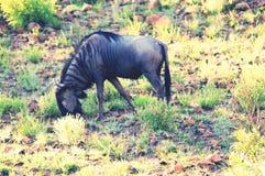 Πιό άγριο κτηνών Στοκ εικόνες με δικαίωμα ελεύθερης χρήσης