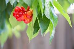 Πιό βροχερά φρούτα κερασιών στο πιό βροχερό δέντρο κερασιών στο τοπικό NA Στοκ Εικόνες