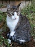 Πιό σκληρή γάτα Στοκ εικόνα με δικαίωμα ελεύθερης χρήσης