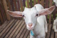 Πιό στενά πρόβατα προσώπου Στοκ εικόνα με δικαίωμα ελεύθερης χρήσης