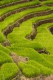 Πιό στενή άποψη των πεζουλιών ρυζιού φυσικών Στοκ εικόνα με δικαίωμα ελεύθερης χρήσης