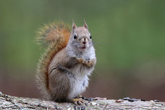 Πιό χαριτωμένος σκίουρος Στοκ εικόνες με δικαίωμα ελεύθερης χρήσης