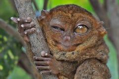 πιό tarsier κλείσιμο του ματιού Στοκ Εικόνες