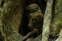 Πιό tarsier οικογένεια Tarsius Tarsiers που τοποθετείται σε ένα δέντρο στο εθνικό πάρκο Tangkoko, ο Βορράς Sulawesi, Ινδονησία Στοκ Εικόνες