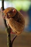 πιό tarsier Στοκ Εικόνα