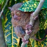 πιό tarsier Στοκ Εικόνες