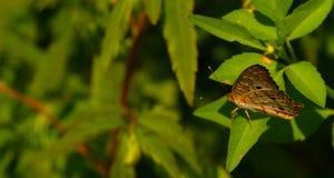 Πλάγια όψη μιας όμορφης καφετιάς πεταλούδας μεταξύ των φύλλων στοκ εικόνα με δικαίωμα ελεύθερης χρήσης