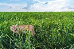 Πλάγια όψη της γάτας που περπατά στον πράσινο χλοώδη τομέα ενάντια στο μπλε ουρανό με τα άσπρα σύννεφα Η σιαμέζα γάτα γλείφει τη  Στοκ φωτογραφία με δικαίωμα ελεύθερης χρήσης