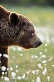 Πλάγια όψη της καφετιάς αρκούδας Στοκ Εικόνες