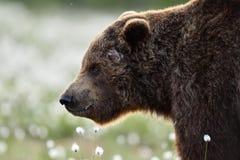 Πλάγια όψη του καφετιού προσώπου αρκούδων Στοκ εικόνα με δικαίωμα ελεύθερης χρήσης