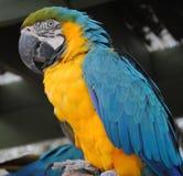 Πλάγια όψη Macaw στοκ φωτογραφία με δικαίωμα ελεύθερης χρήσης