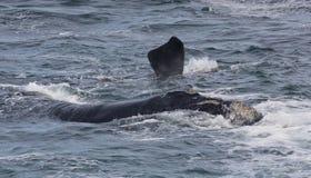 Πλάτη και πτερύγιο μιας νότιας σωστής φάλαινας που κολυμπά κοντά στο Hermanus, δυτικό ακρωτήριο διάσημα βουνά kanonkop της Αφρική στοκ εικόνες με δικαίωμα ελεύθερης χρήσης
