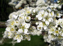 πλήρες δέντρο ανθών μήλων Στοκ Φωτογραφία