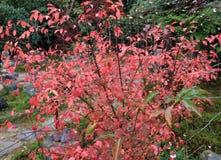 Πλήρες κόκκινο ιαπωνικό φύλλο στο δέντρο μετά από τη βροχή στο πράσινο δέντρο κήπων και υποβάθρου Στοκ Φωτογραφίες