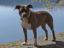 Πλήρες πορτρέτο σώματος ενός σκυλιού πίτμπουλ προσωπικού Brindle AM στοκ εικόνα