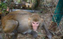 Πλήρες πορτρέτο του ρήσου μακάκου Macaques (mulatta Macaca) στοκ εικόνα με δικαίωμα ελεύθερης χρήσης