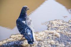 πλήρες σώμα του πουλιού περιστεριών αθλητικού αγώνα που φαίνεται οπτική επαφή στη κάμερα στοκ εικόνες