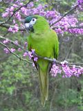 Πλήρες σώμα Hahn macaw στοκ εικόνα