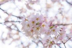 Πλήρης άνθιση του άνθους Sakura κερασιών στην Ιαπωνία στοκ εικόνες