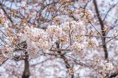 Πλήρης άνθιση του άνθους Sakura κερασιών στην Ιαπωνία στοκ φωτογραφίες με δικαίωμα ελεύθερης χρήσης