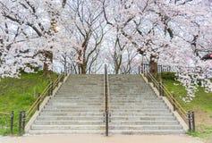 Πλήρης άνθιση του άνθους Sakura κερασιών στην Ιαπωνία στοκ εικόνα