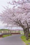 Πλήρης άνθιση του άνθους Sakura κερασιών στη Σαϊτάμα, Ιαπωνία στοκ εικόνες με δικαίωμα ελεύθερης χρήσης