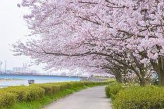Πλήρης άνθιση του άνθους Sakura κερασιών στη Σαϊτάμα, Ιαπωνία Στοκ Φωτογραφία