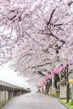 Πλήρης άνθιση του άνθους Sakura κερασιών στο Τόκιο, Ιαπωνία στοκ εικόνες με δικαίωμα ελεύθερης χρήσης