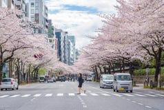 Πλήρης άνθιση του άνθους Sakura κερασιών στο Τόκιο, Ιαπωνία στοκ φωτογραφία με δικαίωμα ελεύθερης χρήσης