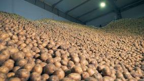 Πλήρης αποθήκη εμπορευμάτων με τις πατάτες Συγκομιδές πατατών που αποθηκεύονται σε μια αποθήκη εμπορευμάτων φιλμ μικρού μήκους