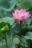 πλήρης λωτός λουλουδιώ&n Στοκ φωτογραφία με δικαίωμα ελεύθερης χρήσης