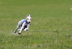πλήρης greyhound ταχύτητα Στοκ Φωτογραφία