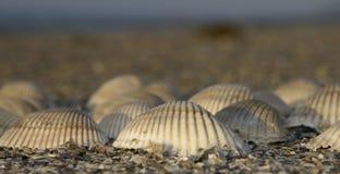 πλήρη κοχύλια θάλασσας Στοκ εικόνες με δικαίωμα ελεύθερης χρήσης