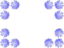 Πλαίσιο λουλουδιών από το μπλε intybus Cichorium, ραδίκι Στοκ φωτογραφία με δικαίωμα ελεύθερης χρήσης