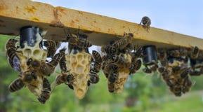πλαίσιο μελισσών με το φραγμό κυττάρων - κύτταρα βασίλισσας με τις μητέρες βασιλισσών μελισσών στοκ εικόνες