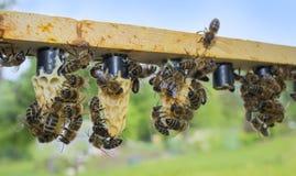 πλαίσιο μελισσών με το φραγμό κυττάρων - κύτταρα βασίλισσας με τις μητέρες βασιλισσών μελισσών στοκ εικόνα με δικαίωμα ελεύθερης χρήσης