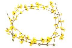Πλαίσιο των κλάδων forsythia με τα κίτρινα λουλούδια που απομονώνεται στο άσπρο υπόβαθρο Στοκ Εικόνες