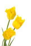πλαισιωμένες τουλίπες κίτρινες στοκ φωτογραφία με δικαίωμα ελεύθερης χρήσης