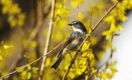 πλαισιωμένος ο θάμνος πορτοκαλής Robin στοκ εικόνα με δικαίωμα ελεύθερης χρήσης