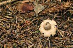 Πλαισιωμένος earthstar, fimbriatum Geastrum Στοκ Εικόνες