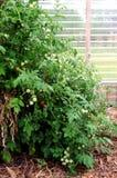 Πλανήτης ντοματών κερασιών με τα ώριμα και πράσινα φρούτα στοκ εικόνες